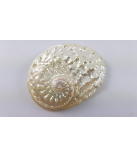 "Abalone shell white Mother of pearl also called ""Haio..."